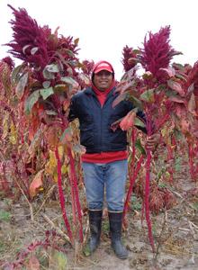 In Argentina la coltivazione dell'amaranto diventa progetto di interesse nazionale